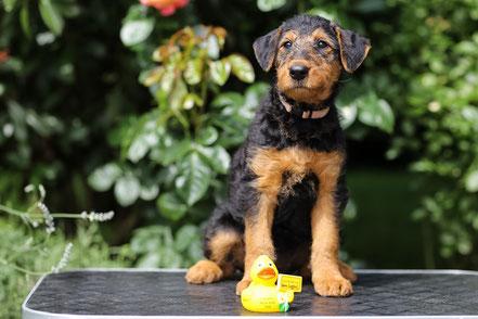 """""""Aska Emma aus dem Siegtal"""" zieht nach Korschenbroich am Niederrhein und wird dort zunächst in einem Hundeverein die Welpengruppe besuchen und zukünftig Frauchen auf Wanderungen begleiten."""