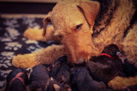 Mutterglück! 8 agile Welpen und die Hundemama versorgt sie sehr vorbildlich. Alle haben schon am ersten Tag gut zugenommen.