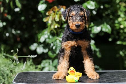 """""""Anno Alf aus dem Siegtal"""" wird in der Nähe in Königswinter bei unserem Vereinskollegen und seiner Frau leben und wird im IPO Sport ausgebildet werden. Die Airedale Terrier Hündin Schona-Sue hat nun einen Kumpel!"""