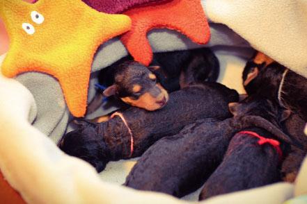 Unser neuer Welpenschlafsack mit dem Wärmekissen wird von unseren neugeborenen Welpen gerne angenommen. Hier werden sie zum Raumlüften und beim Reinigen der Wurfkiste geparkt.