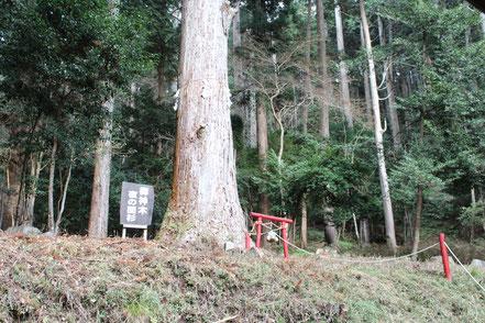 御形神社(みかたじんじゃ)のご神木夜の間の杉