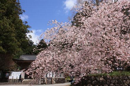 御形神社(みかたじんじゃ)の正福寺桜