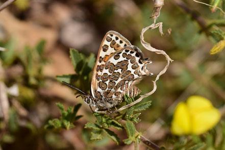 C. zohra cryptozohra, région de Taliouine, Anti-Atlas nord-oriental, 2017, ©Frédérique Courtin-Tarrier