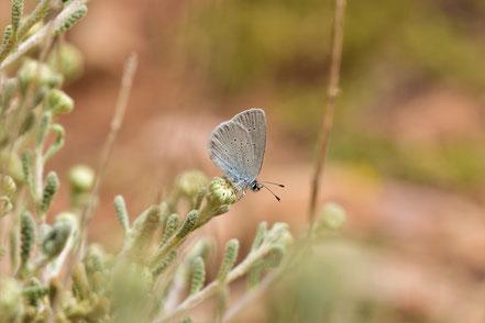 Réserve de Papillons d'Inifife, Moyen Atlas central, saison 2017, photo Frédérique Courtin-Tarrier