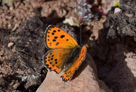 T. phoebus, femelle, région d'Igherm, Anti-Atlas sud-occidental, 2017, ©Frédérique Courtin-Tarrier