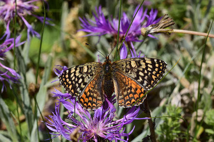 M. aetherie algirica f. ahbani, femelle, Tizi-n-Tretten, Moyen Atlas central, 2017, ©Frédérique Courtin-Tarrier