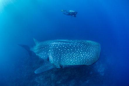 Galapagos Shark Diving - Tiburón Ballena y Buceador