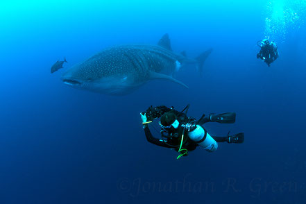 Galapagos Shark Diving - Diver taking photo of whale shark