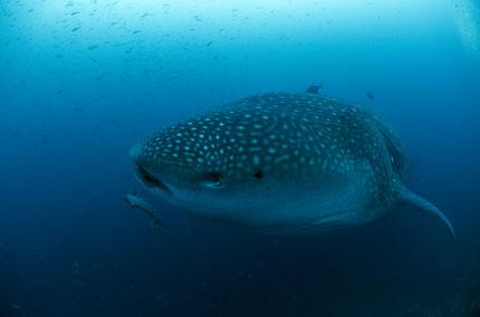 Galapagos Shark Diving -  Walhai von vorne fotografiert Galapagos Inseln