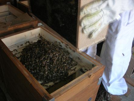 Enruchage de paquets d'abeilles