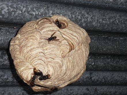 Nid de frelon asiatique (ouverture sur le coté)