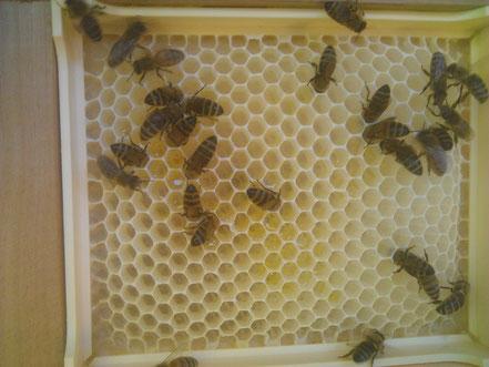 Début de remplissage en nectar des cadrons pour miel en rayon