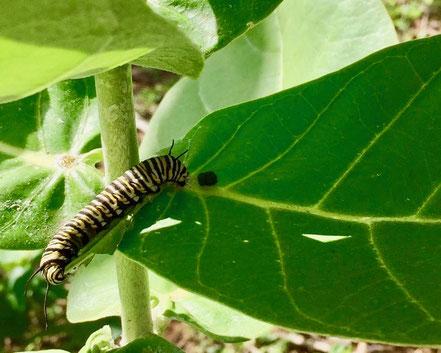 Monarch caterpillar Amy Greenwell Garden