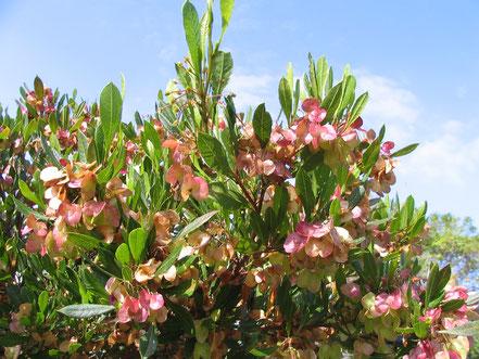'A'ali'i (Dodonaea viscosa) Amy Greenwell Garden Hawaii