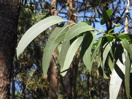 Platten aus Eukalyptusfasern