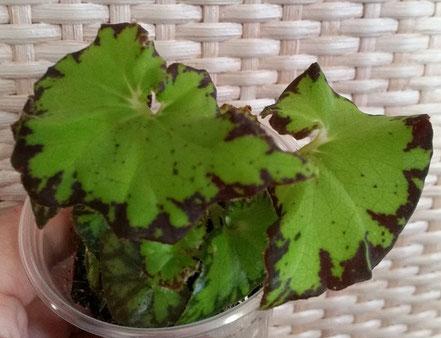 Бегония Begonia Jive