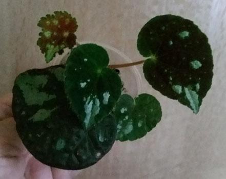 Бегония aurantiflora