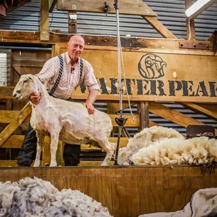 Sheep sheering at Walter's Peak farm near Queenstown