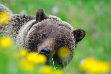 Grizzly Bear (Ursus arctos horribilis) in Jasper National Park