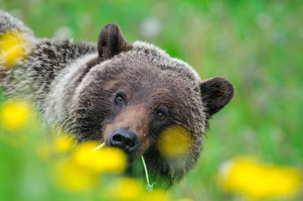 Grizzly Bear (Ursus arctos horribilis) in Jasper National Park