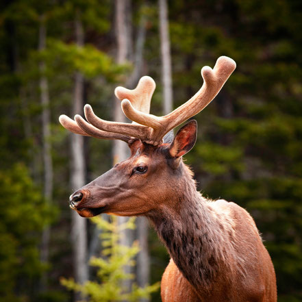 Elk Banff National Park Canada