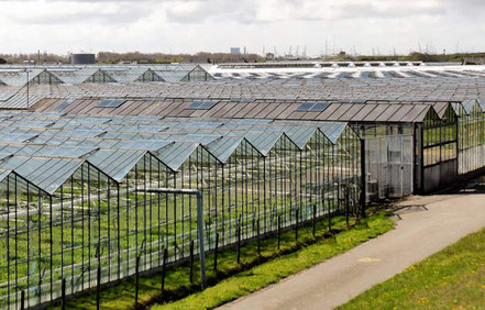 Greenhouse Shading / Shielding mit Schirmmittel von ReduSystems.