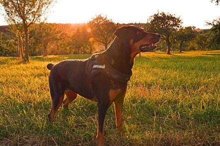 Dobermann-Rottweiler-Mix mit nach Standard kupierter Rute