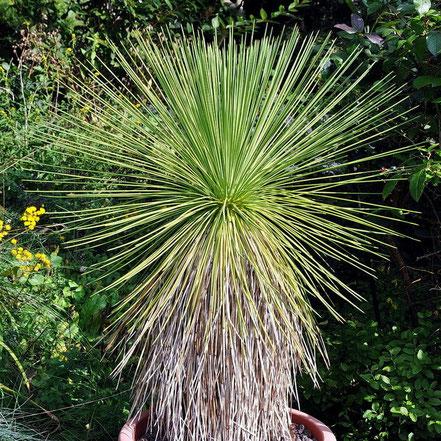 Yucca queretaroensis