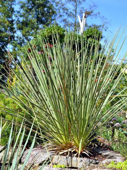 Yucca glauca stricta