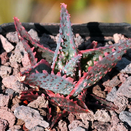 Aloe Rocco, Coral Edge