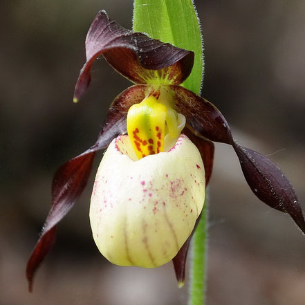 Cypripedium x andrewsii