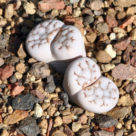 Lithops julii C205