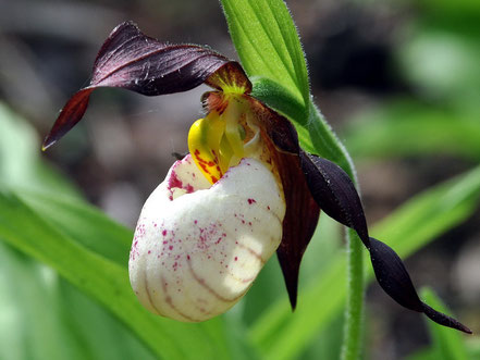 Cypripedium andrewsii