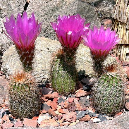 Echinocereus reichenbachii baileyi brunispinus