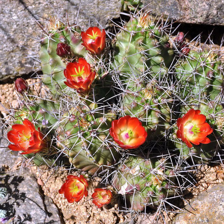Echinocereus coccineus paucispinus