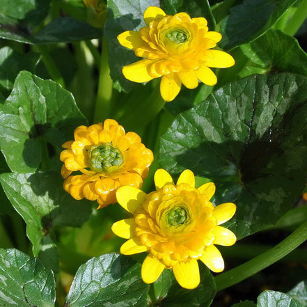 Ranunculus ficaria Yoko Sun