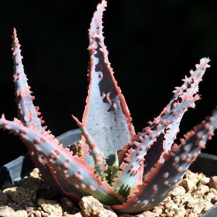 Aloe Coral Fire