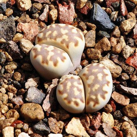 Lithops julii fulleri brunnea C179
