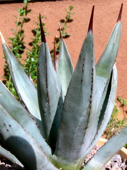 Agave nigra