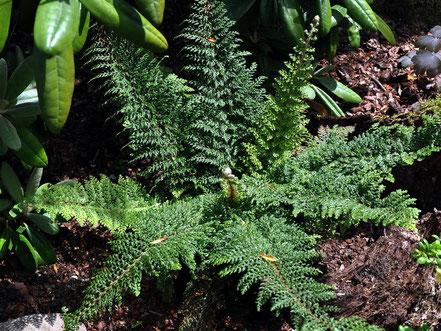 Polystichum setiferum Plumosum Densum