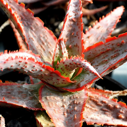 Aloe Draculas Blood