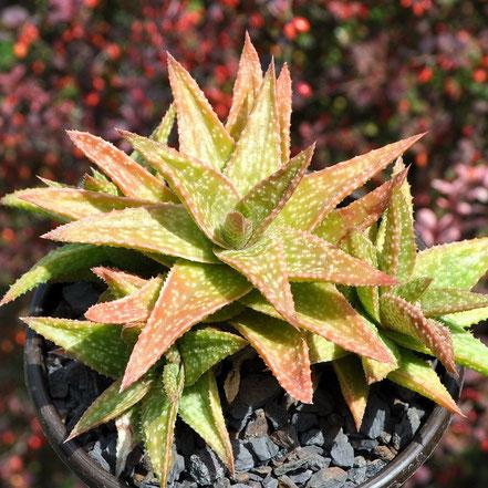 Aloe Green & Gold