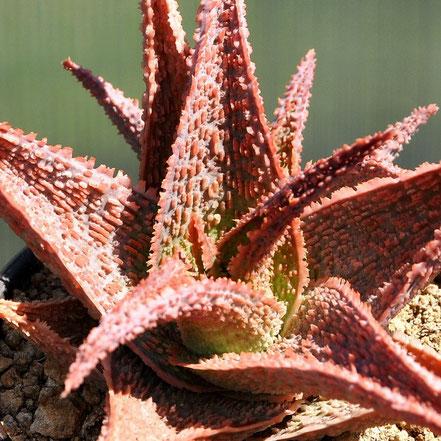 Aloe Vito, Green Sand