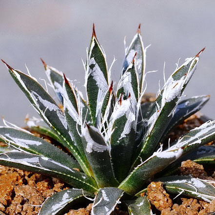 Agave toumeyana bella Selection