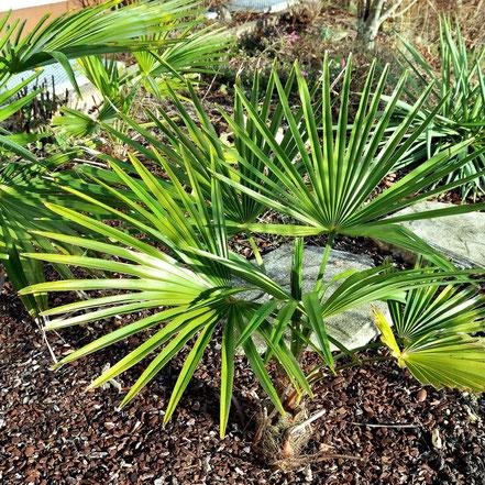 Trachycarpus fortunei Tesan