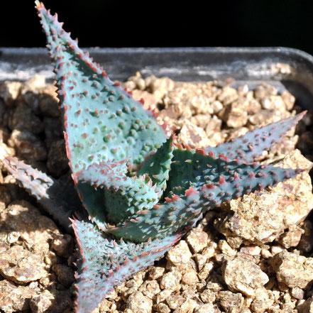 Aloe Lavender Star