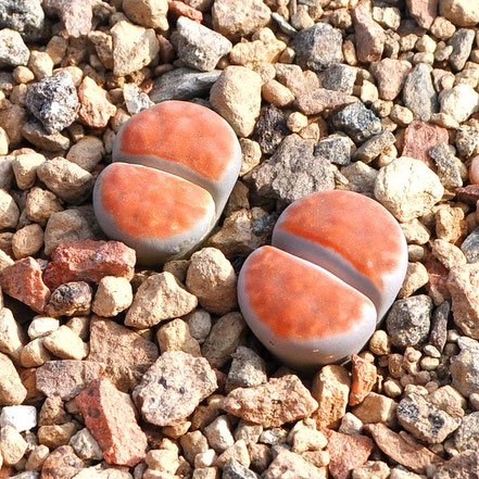 Lithops karasmontana Apricot Selection