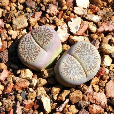 Lithops aucampiae euniceae fluminalis C054