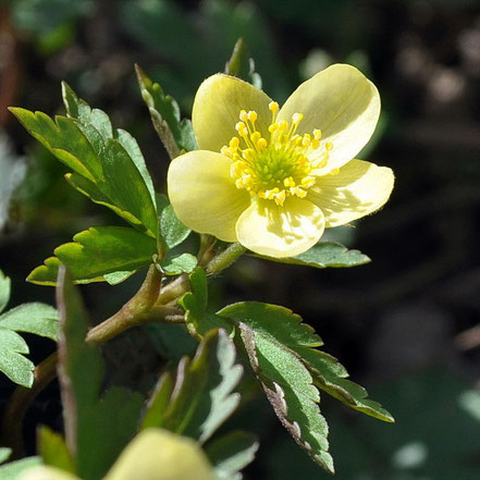 Anemone x lipsiensis Vindobonensis