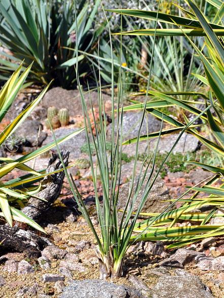 Yucca elata White Sands
